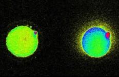 cufom flash-cellula-uovo